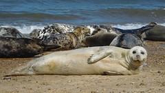 Seal Posing (Deb Simpkins) Tags: seal nature wildlife animal beach sea shore seals face eyes nose nostrils flipper whiskers mouth tail fur laying sand seaside seascape norfolk horseygap summer 2018 nikon coolpix l840 httpfriendsofhorseysealscouk