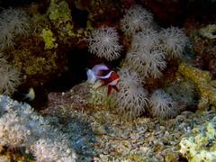 P1-009111 (charlesvanlangeveld) Tags: redseaanthias pseudanthiastaeniatus red sea redsea indopacific marsaalam egypt scuba diving underwater fish portraits
