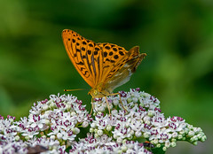 DSC5370   Silver Washed Fritillary.. (jefflack Wildlife&Nature) Tags: silverwashedfritillary fritillary fritilliaries butterflies butterfly insects insect lepidoptera nectaring wildlife woodlands wildflowers grasslands heathland hedgerows meadows moorland wildlifephotography jefflackphotography countryside nature ngc