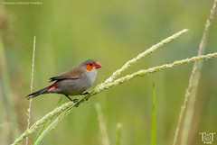 Orange-Cheeked Waxbill (tracetam_travels) Tags: bird small singapore orangecheeked waxbill tttravels nature wildlife