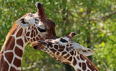 reticulated giraffe artis JN6A6014 (j.a.kok) Tags: giraffe giraffacamelopardalisreticulata giraffacamelopardalis netgiraffe giraf reticulatedgiraffe animal artis africa afrika mammal herbivore zoogdier dier hoefdier
