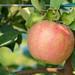 Apples in Walla Walla