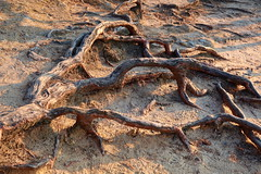 Roots of pine (ZdenHer) Tags: roots pine wood nature sand canonpowershotg7xmarkii