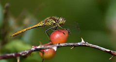 Dragonfly (Libelle) (moniquedoon) Tags: summer macro insects libelle dragonfly red colours