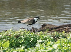 Spur-winged Plover_Entebbe_Botanical Gardens (Paul N Prior) Tags: spurwingedplover birding entebbe uganda downtownpark