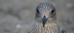 young herring gull looking for food (kalakeli) Tags: august 2018 grömitz balticsea ostsee möwen gulls younggull silbermöwe larusargentatus europeanherringgull herringgull