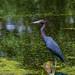 Little Blue Heron in Elm Lake