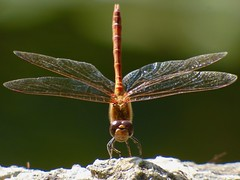 Dragonfly (LouisaHocking) Tags: insect minibeast nature creature wild wildlife gethin woods south wales british uk dragonfly