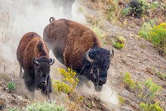 It's All Downhill From Here (KPortin) Tags: yellowstonenationalpark bison dust