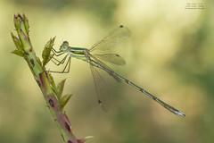 Lestes virens (Pipa Terrer) Tags: lestesvirens odonata lestidae ronda zigoptera caballitodeldiablo insecta invertebrados
