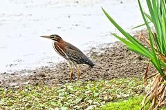 Green Heron (deanrr) Tags: bird nature outdoor water waterfowl morgancountyalabama alabama greenherron soil lake plant