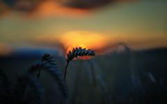 sunset (Elmar Egner) Tags: zeiss batis 85mm batis1885 bokeh backlight field romance landscape detail light sunset