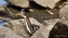 IMG_1027_DxOFB (Aria (RJWarren)) Tags: greenheron butoridesvirescens nature wildlife wild fauna avian bird heron shorebird midwest iowa juvenile young canon 6d tamron150600mm