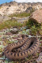 Vipera aspis aspis (Gabriele Carabus Motta) Tags: vipera aspide reptile snake venomous alps italy mountain nature wildlife summer