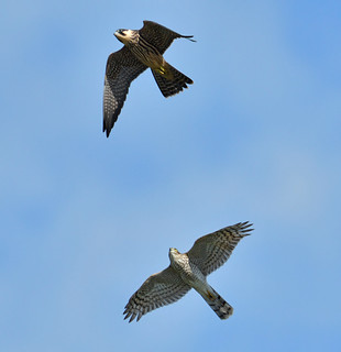 Hobby and Sparrowhawk
