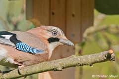 2016.04.19 - 3549 - Geai des chênes Bois Bas © (chmeyer51) Tags: oiseau geaideschênes corvidae garrulusglandarius