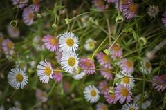 Lovely flowers ... (Julie Greg) Tags: flowers flower canon nature nautre england colours park garden plant details