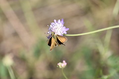 Hesperiidae (esta_ahi) Tags: castellvídelamarca flor flora flores silvestres penedès barcelona spain españa испания mariposa papallona butterfly lepidoptera insectos fauna hesperiidae