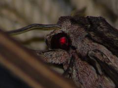 dettaglio occhi falena (fascianoangelo14) Tags: insetti falena occhi rosso dettagli canon 1200d