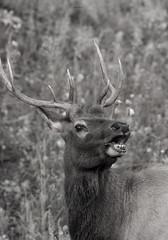 Call of the Wild (agnish.dey) Tags: wildlife elk bullelk antlers rut colorado rockymountainnationalpark rockymountains bugle trees naturallight nature naturephotograph nikon naturethroughthelens nationalpark d500 animalplanet forest