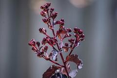 Getting Ready To Pop.....Open (ACEZandEIGHTZ) Tags: buds flower crape myrtle nikon d3200 garden bokeh unopened