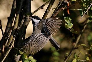 1.20098 Mésange à tête noire / Poecile atricapillus atricapillus / Black-capped Chickadee