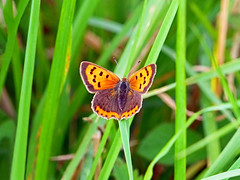 Small Copper Butterfly (niloc's pic's) Tags: smallcopper lycaenaphlaeas butterfly lepidoptera insect combevalley bexhillonsea eastsussex panasonic lumix