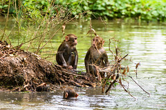 Poolside Monkeys (PB2_3234) (Param-Roving-Photog) Tags: monkeys rhesus macaques animal wildlife woods forest trees bushes pond water monsoon socialanimals swimming diving monkeyfun ludhiana wildlifephotographer