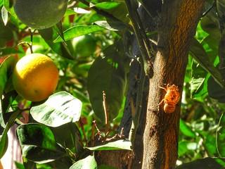 a cicada on the orangetree!!!