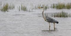 Grey Heron (Paul..A) Tags: greyheron grey heron wadingbird waterbird scotland