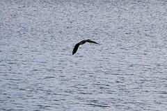 137. Canadian Goose (brottj316) Tags: laketahoe msdixieii emeraldbay canadiangoose