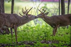 KissTheHand (jmishefske) Tags: 2018 d850 buck fight spar milwaukee fall september antler classic nikon wildlife rack wisconsin rut parkway whitetail county head deer rootriver