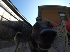 Dogs (Andrew Penney Photography) Tags: dog teeth mouth outside nose barking pet brother
