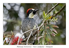 Acorn woodpecker (Jan H. Boer, Nature photographer) Tags: melanerpesformicivorus acornwoodpecker eikelspecht birds woodpeckers nature wildlife costarica highlands sangerardodedota nikon d500 afsnikkor200500f56eedvr jan´sphotostream2018