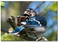 Blue Jay (Betty Vlasiu) Tags: blue jay cyanocitta cristata bird nature wildlife