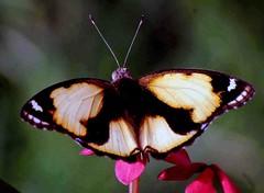 DSC_7890 (rajashekarhk) Tags: beauty butterfly colours chennai photography photowalk madrasphotographicsociety mps annanagartowerpark nikon flower capital nature naturephotography natural southindia india incect rajashekar hkr
