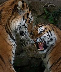 Altercation (yadrad) Tags: amur amurtiger tiger cats bigcats carnivores ngc dartmoorzoologicalpark dartmoorzoo zoo captivity animal