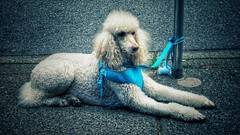 Ready and waiting (Edna Winti) Tags: vancouver ednawinti dog robsonstreet thurlowstreet poodle