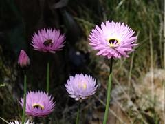 A Day In Kings Park, Perth, Western Australia (AdamsWife) Tags: westernaustralia perth kingspark plants flower flora wildflowers nature everlastings