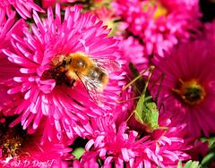 L'Abeille et la Sauterelle (Jean-Daniel David) Tags: nature abeille sauterelle insecte insectevolant fleur vert mauve grosplan closeup macro jardin penthalaz suisse suisseromande vaud