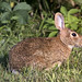 eastern cottentail rabbit