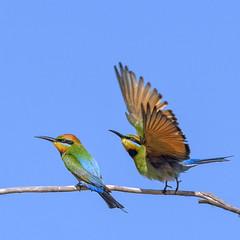 lagoon creek - rainbow bee eaters (Fat Burns ☮) Tags: rainbowbeeeater meropsornatus beeeater bird australianbird fauna australianfauna lagooncreek barcaldine nikond500 sigma150600mmf563dgoshsmsports sigmatc140114xteleconverternik