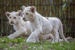 weiße Löwenkinder (DeanB Photography) Tags: löwen lion löwenkinder canon tiere tier tierpark tierwelt animal animals weiselöwen