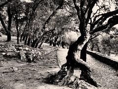 El espíritu del camino (rosbelfer69) Tags: árbol fátima portugal tronco caminodelospastorcillos