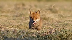 Fox (Alan McCluskie) Tags: fox redfox ruralfox wildfox mammal fields canon7dmk2 sigma150600mmsp wildlife animals nature