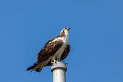 Osprey on a Pole (Photomatt28) Tags: evergladesnationalpark florida natureparks