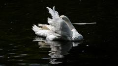 Very ragged (PChamaeleoMH) Tags: birds centrallondon london stjamesspark swans
