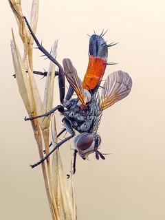 Raupenfliege (Zweiflügler) - Cylindromyia brassicaria - Diptera