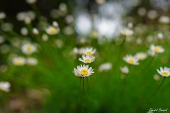Daisy 🌼 (edzwa) Tags: sydney newsouthwales australia au flowers flower bokehlicious bokeh daisy sigma50mm14art garden