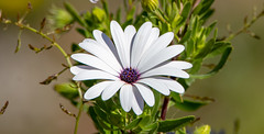 White Osteospermums with Purple Centers (Merrillie) Tags: flowers daisies australia osteospermum purple daisy flower oceanbeach newsouthwales macro uminabeach nsw wildflower wild scenery flora umina coastal gardens greenery outdoors floral nature centralcoast petals white
